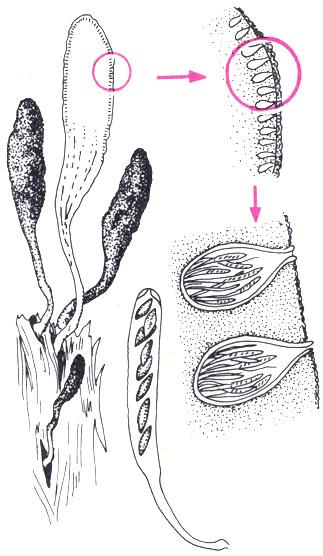 У сумчатого гриба ксилярии