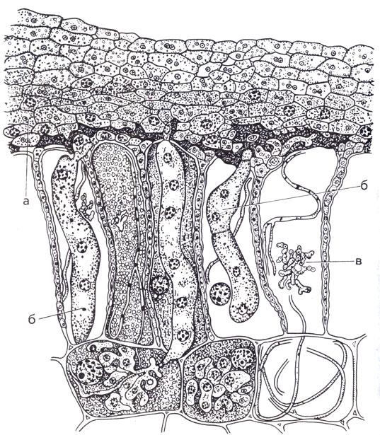 Схема среза эктоэндотрофной