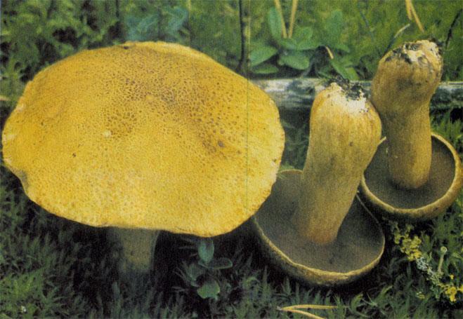 Желтый моховик